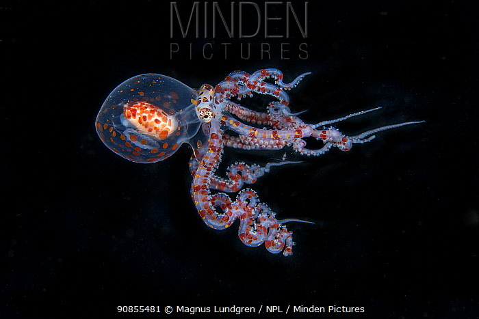 Juvenile Wunderpus octopus (Wunderpus photogenicus) Balayan Bay, off Anilao, Batangas, Philippines, Pacific Ocean.