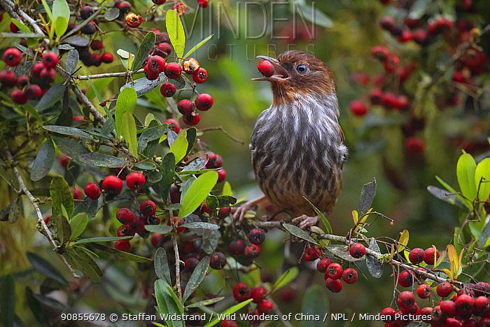 Taiwan Bar-wing (Actinodura morrisoniana) an endemic species, feeding on red berry in tree, Lu Shan, Taiwan