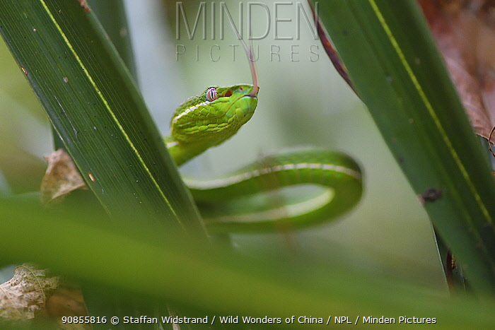 Taiwan green bamboo pit viper, (Trimeresurus stejnegeri) endemic species,Kenting National Park, Taiwan