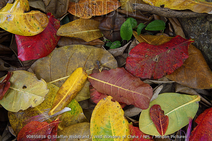 Leaf litter, mainly from Indian almond trees, on the rainforest floor, Banana Bay Forest Rerserve, Kenting National Park, Taiwan