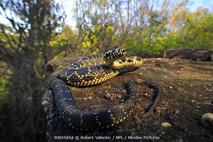 Broad-headed snake (Hoplocephalus bungaroides) female tasting the air whilst basking. Heathcote, New South Wales, Australia.