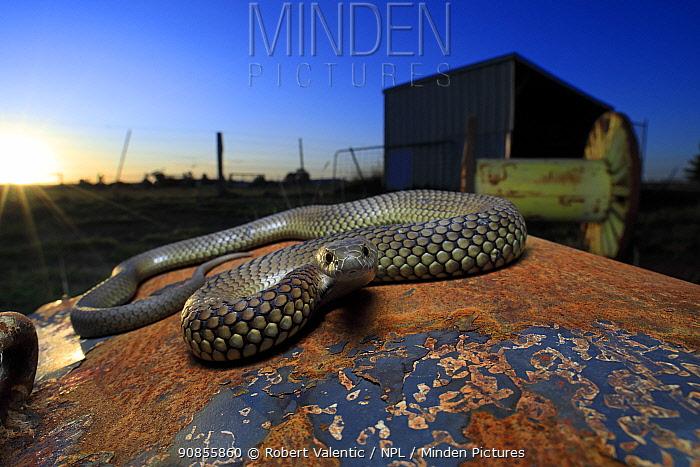 Lowland copperhead snake (Austrelaps superbus) male basking on rusty trailer, on farm at sunset. Melbourne, Victoria, Australia.