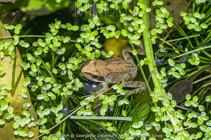 Common froglet (Rana temporaria) recently metamorphosed from a tadpole with a tadpole. London, UK