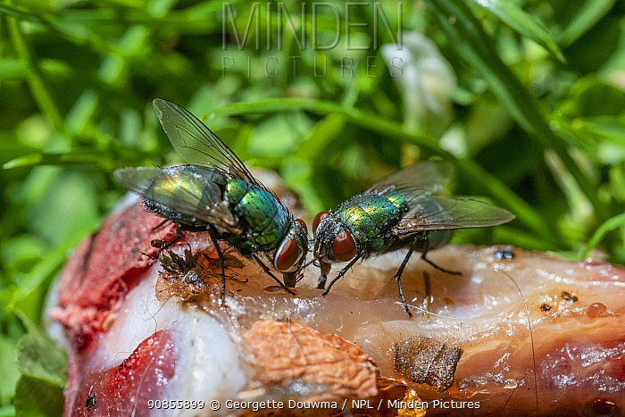 Greenbottle (Lucilia caesar) flies on a chicken bone. UK.