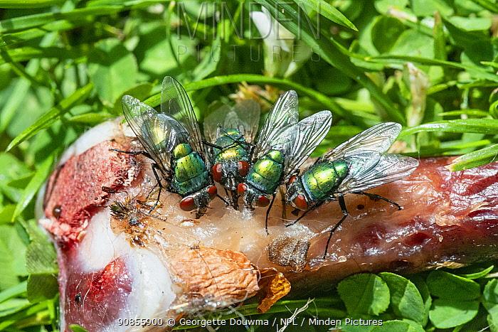 Greenbottle (Lucilia caesar) flies on a chicken bone. UK.