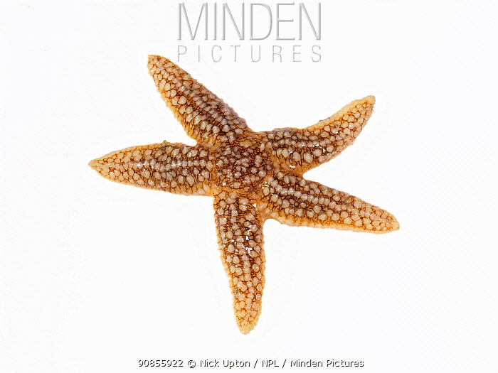 Common Starfish (Asterias rubens) on a white background, The Gower, Wales, UK, July.