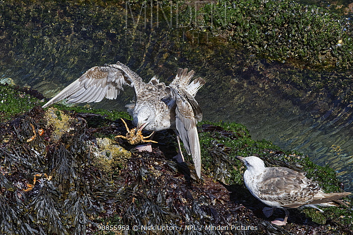 Great black-backed gull (Larus marinus) juvenile landing near another with a Spiny spider crab (Maja squinado) it has just caught on a very low spring tide, The Gower, Wales, UK, July.