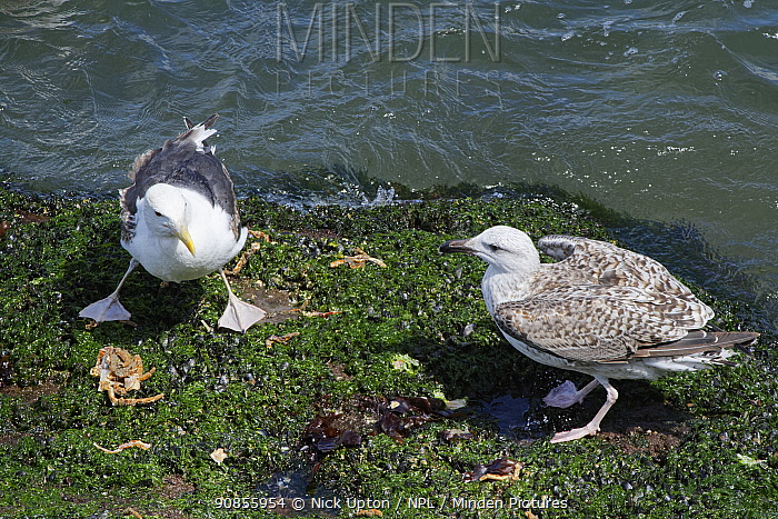 Great black-backed gull (Larus marinus) juvenile approaching a subadult standing over a Spiny spider crab (Maja squinado) it has just caught and is feeding on during a very low spring tide near a rocky shore, The Gower, Wales, UK, July.
