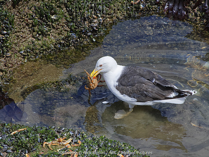 Great black-backed gull (Larus marinus) adult standing in a rock pool with a Spiny spider crab (Maja squinado) it has just caught on a very low spring tide, The Gower, Wales, UK, July.