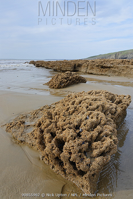 Honeycomb worm reef (Sabellaria alveolata) with clustered tubes built of sand grains attached to boulders, exposed at low tide with the sea in the background, Dunraven Bay, Glamorgan, Wales, September.