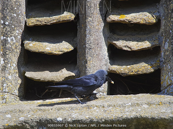 Jackdaw (Corvus monedula) returning with some food for its chicks to a nest site behind old stone louvres in a church window, Lacock, Wiltshire, UK, May.