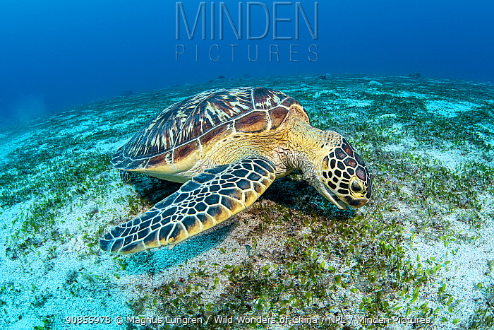 Green sea turtle (Chelonia mydas), on a sandy flat, Green Island, Taiwan.