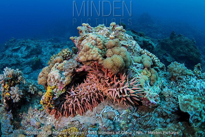 Pineapple sea cucumber (Thelenota ananas) Green Island, Taiwan. Endangered species.