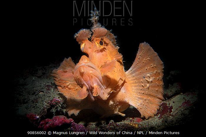 Paddle flap scorpionfish (Rhinopias eschmeyeri) Longdong (Dragon Cave), Taiwan.