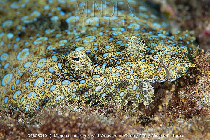 The peacock flounder (Bothus mancus), Green Island, Taiwan.
