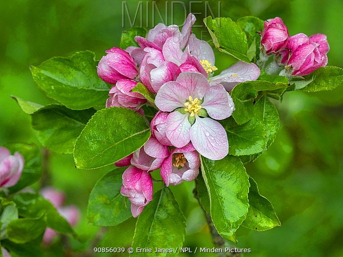 Bramley apple (Malus domestica) in flower, Norfolk, England, UK, April.