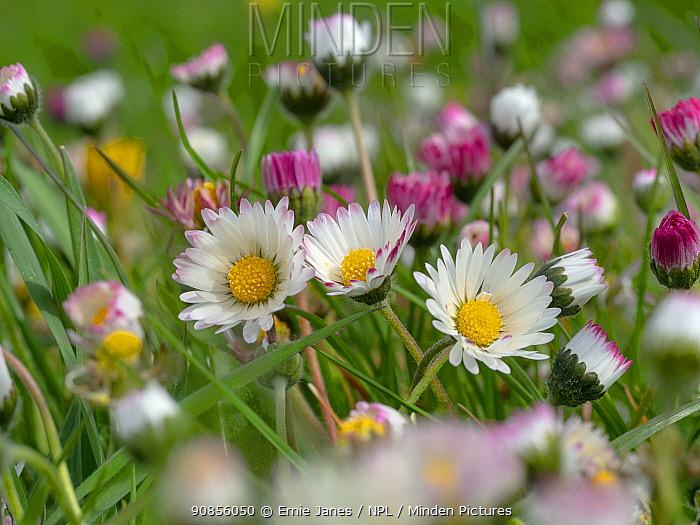 Garden daises (Bellis perennis) in grazing meadow