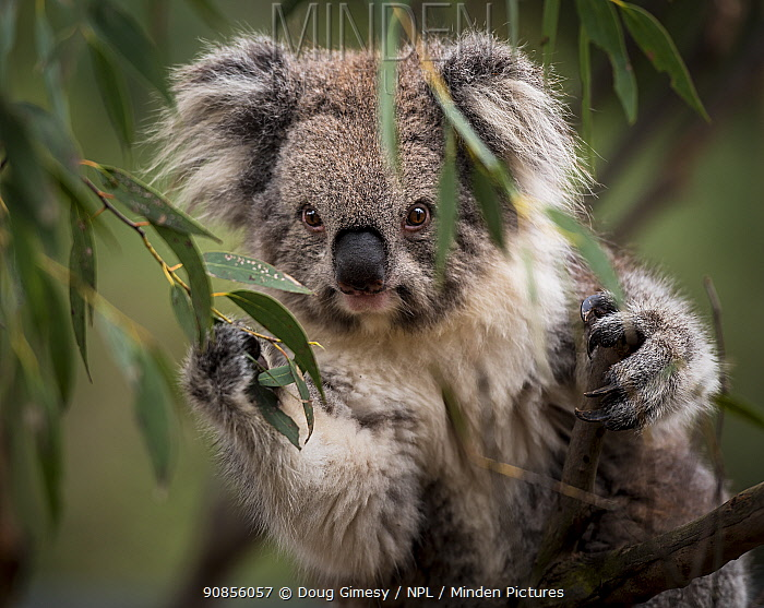 Portrait of a Victorian koala (Phascolarctos cinereus). Koalas from the more southern and colder states of Australia have longer hair than there more northly counterparts. Cape Otway, Victoria, Australia