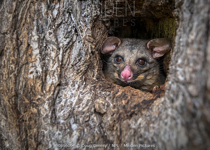 Brushtail possum (Trichosurus vulpecula) in a tree hollow/hole looking out during the day. Carlton Gardens, Carlton, Victoria, Australia.