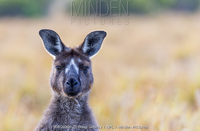 Kangaroo Island kangaroo (Macropus fuliginosus fuliginosus) portrait,with rare facial markings.