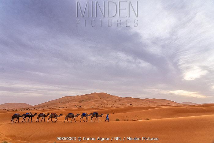 Camel caravan walks across the sand dunes of Erg Chebbi outside of Merzouga, Morocco.