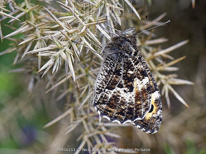 Grayling butterfly (Hipparchia semele) resting on a Gorse bush, Dorset heathland, UK, July.