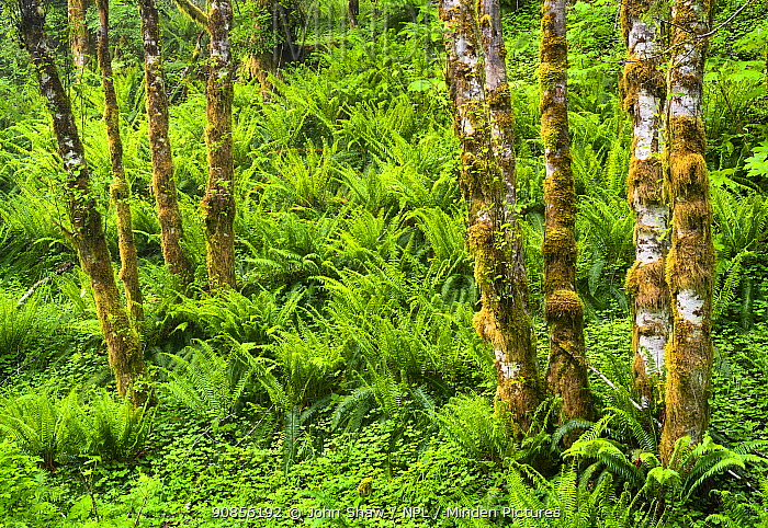 Mossy red alder trees (Alnus rubra) and sword ferns (Polystichum munitum) in temperate rainforest, Oregon, USA, June.