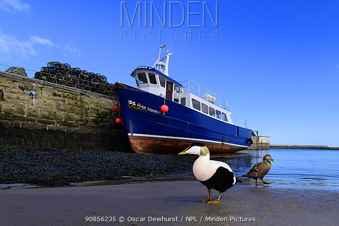 Eider (Somateria mollissima) pair in front of boat in Seahouses harbour. Northumberland, UK. March