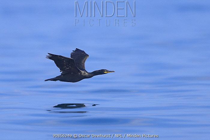 Shag (Phalacrocorax aristotelis) adult in flight over the sea. Farne Islands, Northumberland, UK. July.