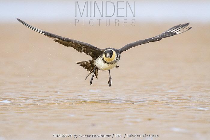 Pomarine skua (Stercorarius pomarinus) taking off from beach. Durham, UK. September