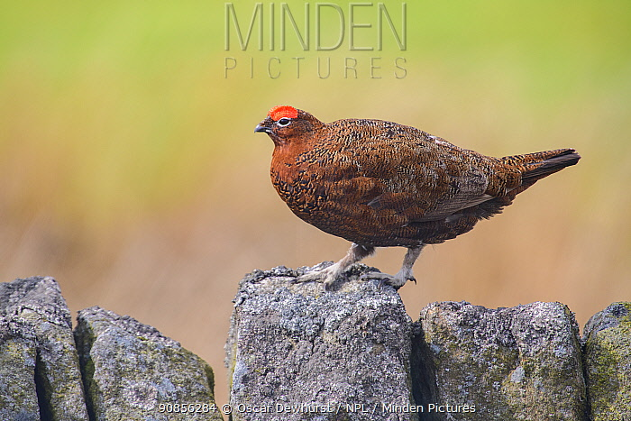 Red grouse (Lagopus lagopus scoticus) male on stone wall. Durham, UK. April