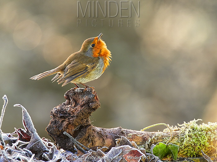 European Robin (Erithacus rubecula) displaying to another robin Wales, UK, January.
