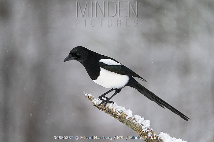 Eurasian magpie (Pica pica) perched on branch in snow. Vaagaa, Norway. December.