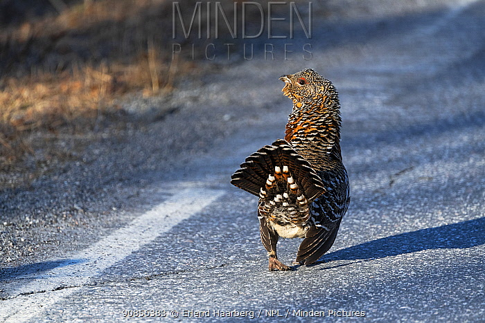 Capercaillie (Tetrao urogallus) female on road. Pasvik, Norway. May.