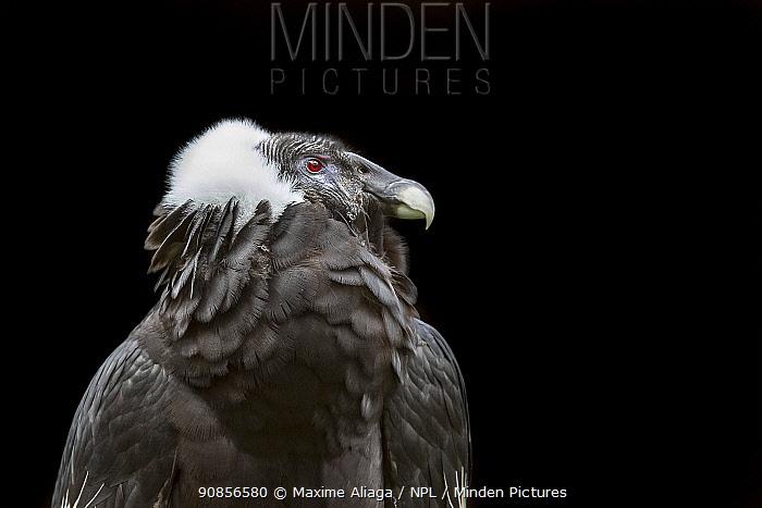 Portrait of a female Andean condor (Vultur gryphus) Andean Condor Huasi Project , Ecuador , August 2015