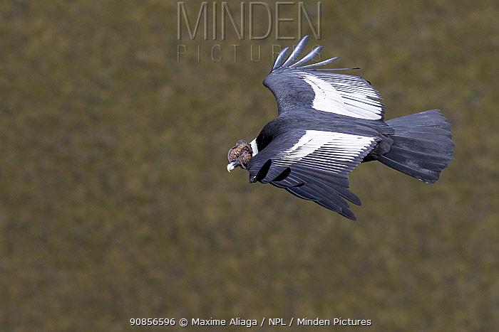Andean condor (Vultur gryphus) flying. Antisanilla Reserve, Ecuador, August 2015.