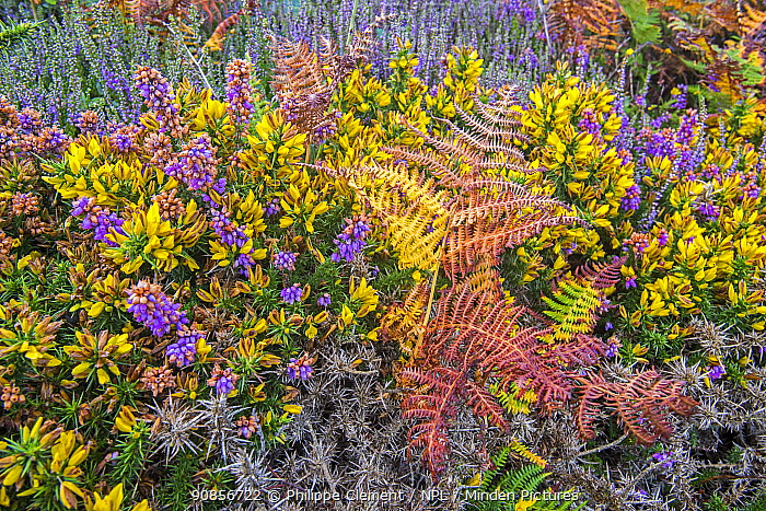 Bell heather (Erica cinerea) and Western gorse / Dwarf furze (Ulex gallii) in flower in summer, Normandy, France. August