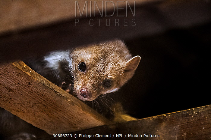 Beech / Stone marten(Martes foina) looking down from beam in wooden roof truss, Germany. Captive
