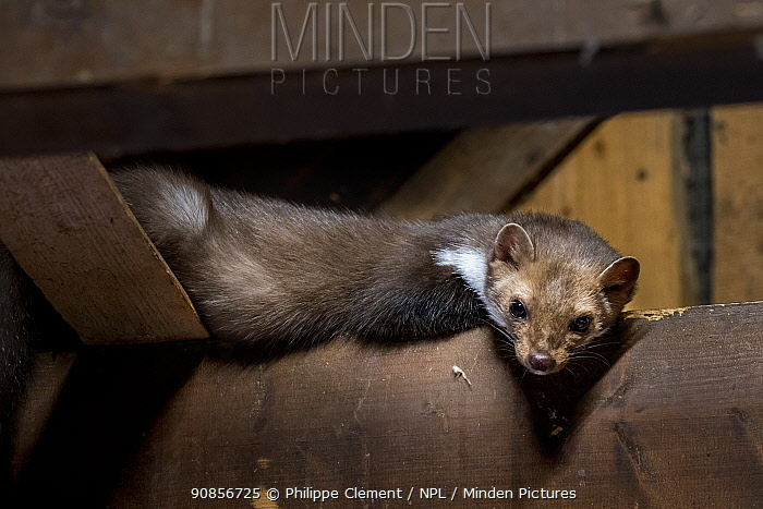Beech / Stone marten (Martes foina) looking down from beam in wooden roof truss, Germany. Captive
