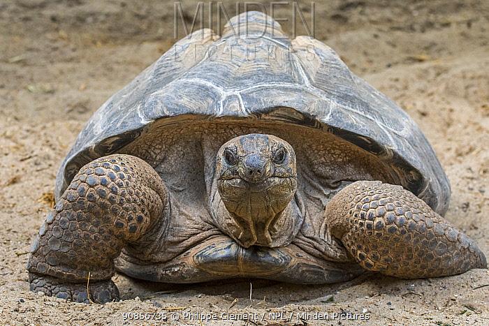 Aldabra giant tortoise (Aldabrachelys gigantea / Testudo gigantea) occurs in the islands of the Aldabra Atoll in the Seychelles. Captive