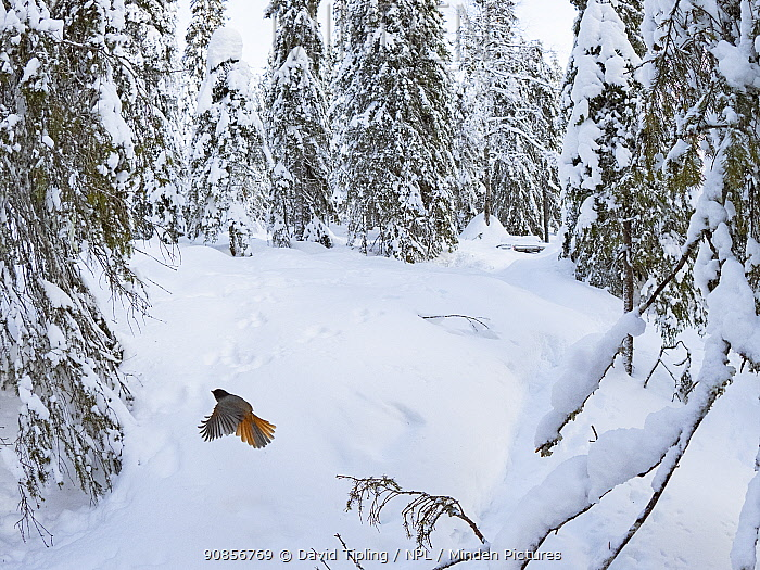 Siberian Jay (Perisoreus infaustus) flying in snow, Kuusamo, Finland, January.
