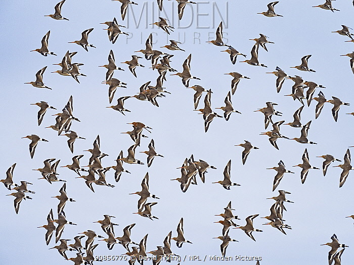Black-tailed godwit (Limosa limosa) flock over scrape, Cley NWT, North Norfolk,, England, UK, March.