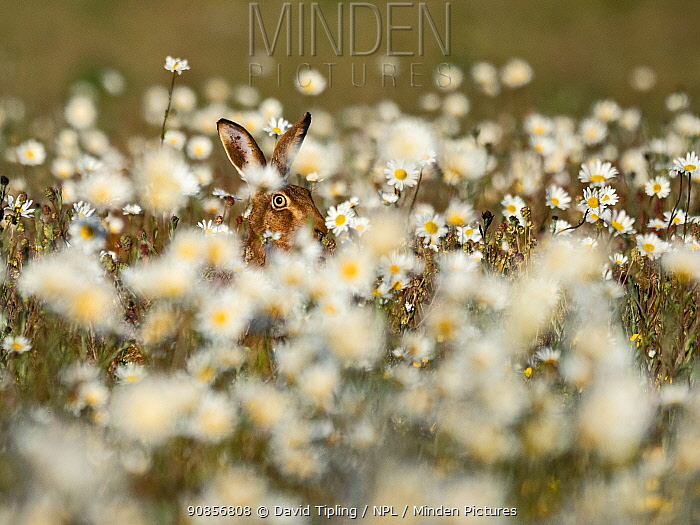 Brown hare, (Lepus europaeus) in meadow of Oxeye Daisies, North Norfolk, June