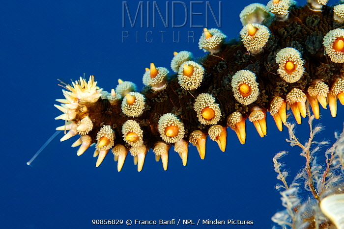 Detail of Blue Spiny Starfish, (Coscinasterias tenuispina), Santa Maria Island, Azores, Portugal, Atlantic Ocean