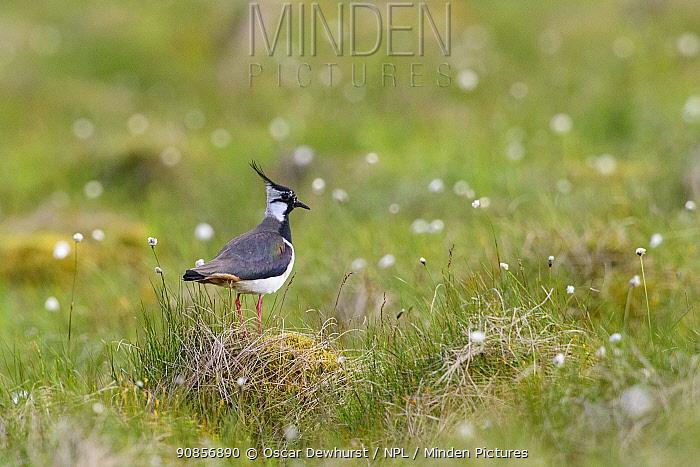 Northern lapwing (Vanellus vanellus) standing on grass mound in moorland. Durham, UK. June.