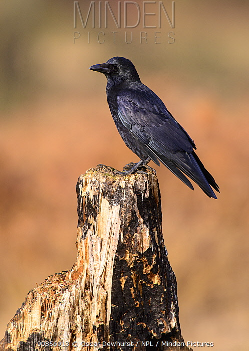 Carrion crow (Corvus corone) perched on fallen tree trunk. London, UK. January