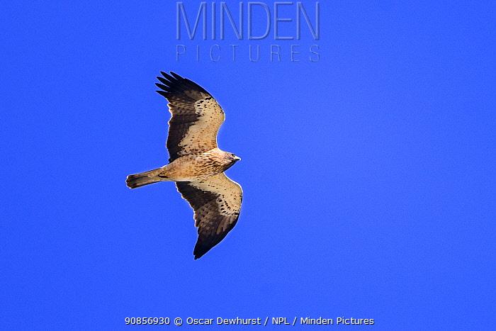 Booted eagle (Hieraaetus pennatus) pale morph in flight. Extremadura, Spain. Croped