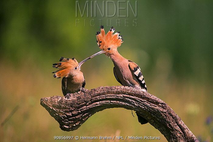Hoopoe (Upupa epops) feeding mate, Hungary