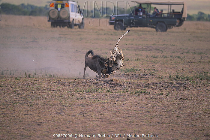 Cheetah (Acinonyx jubatus) killing a young wildbeast with safari vehicles watching nearby, Masai Mara, Kenya