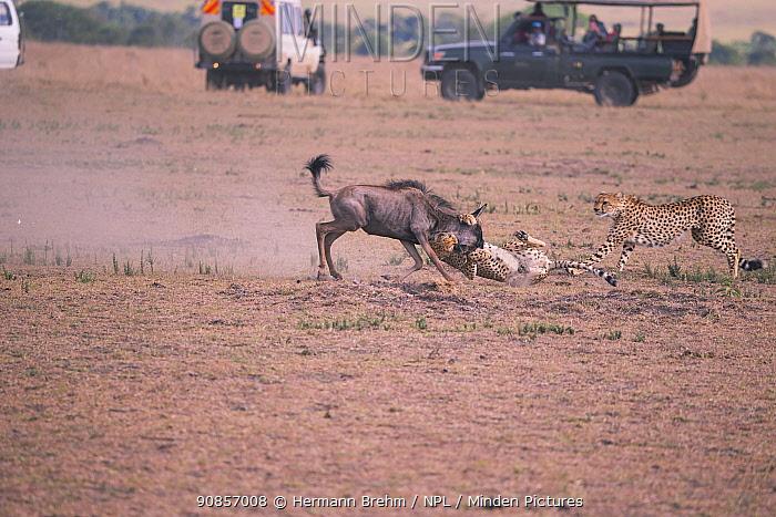 Cheetah (Acinonyx jubatus), killing a young wildbeast with safari vehicles near, Masai Mara, Kenya